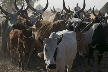 La FAO souhaite protéger près de 9 millions d'animaux des épidémies de maladies qui se font de plus en plus fréquentes.