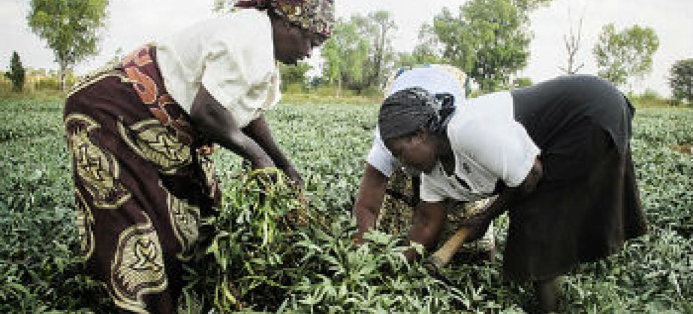 Em três anos, o PAA auxiliou cerca de 5,5 mil pequenos agricultores que viram a produção aumentar em mais de 100%.Foto: PMA/Moçambique