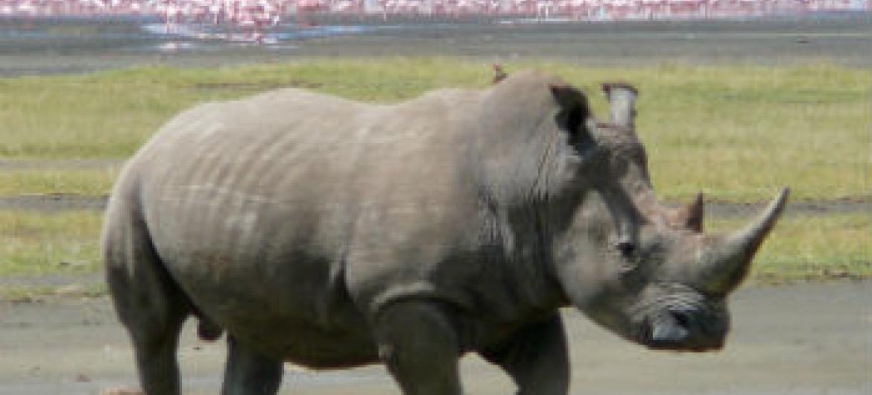 Mais de mil rinocerontes foram caçados no ano passado. Foto: Ryan Harvey