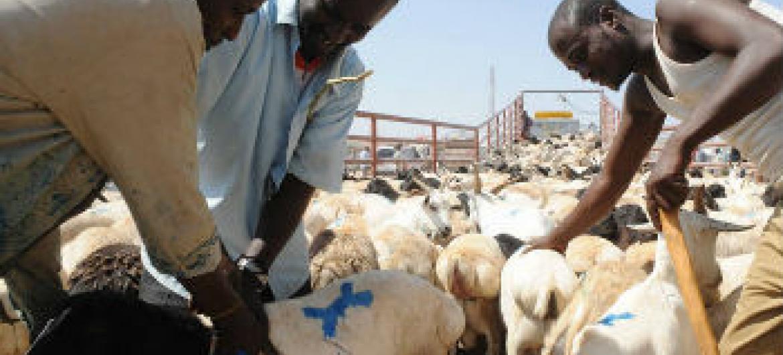 Exportação de gado na Somália. Foto: FAO