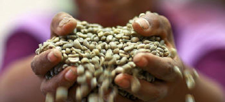 Produção de café. Foto: ONU