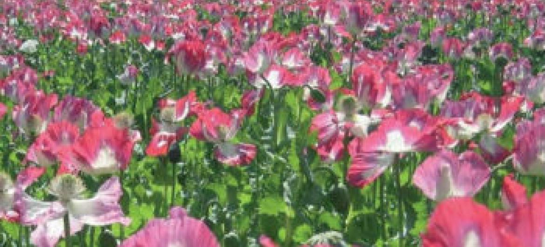 Campo de cultivo de papoula, para a produção do ópio, no Afeganistão. Foto: UNODC