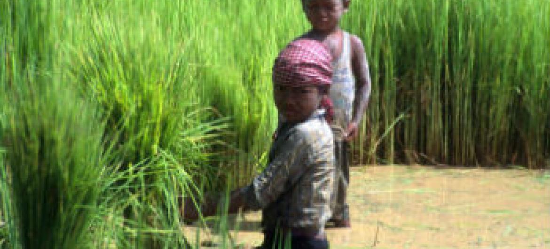 Trabalho infantil na agricultura. Foto: FAO/J. Thompson