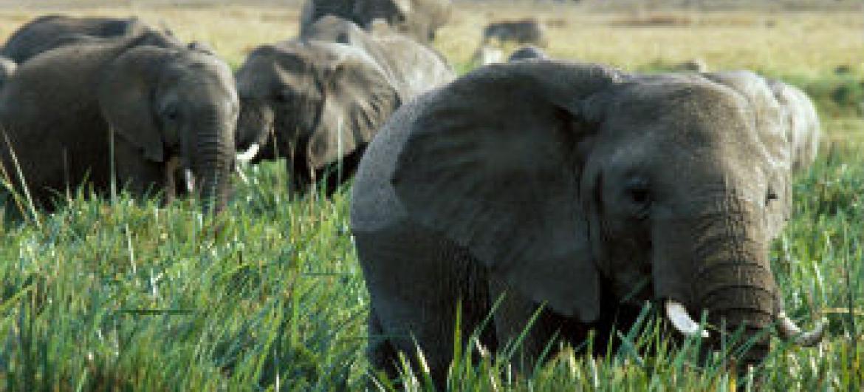 População de elefantes na África está a diminuir. Foto: Banco Mundial/Curt Carnemark