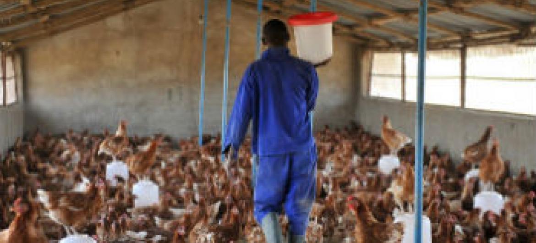 Aviário no Chade. Foto: FAO