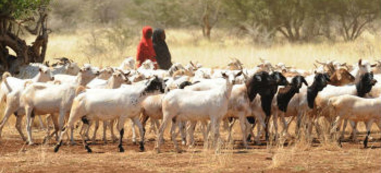 855 mil com insegurança alimentar na Somália. Foto: FAO/Simon Maina