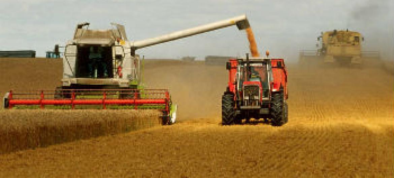 Produção de cereais em alta. Foto: FAO
