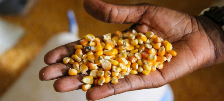 A previsão da produção de cereais para este ano está 1,1% abaixo do recorde do ano passado.Foto: Daniella Van Leggelo-Padilla/Banco Mundial