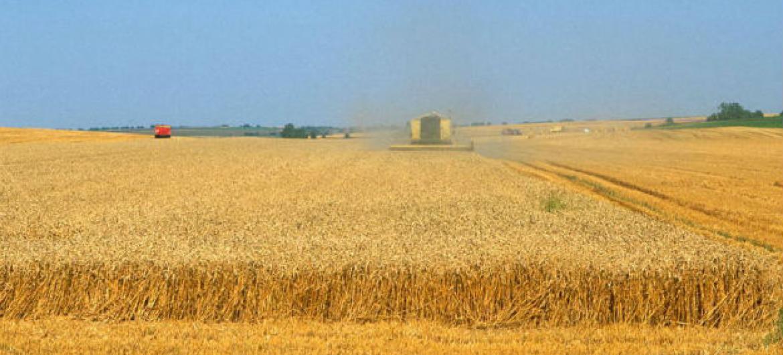 Expectativa é de crescimento no abastecimento de trigo. Foto: FAO/Olivier Thuillier