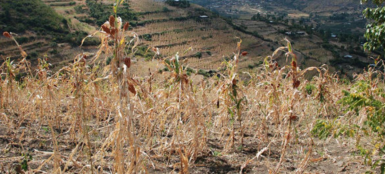 Plantação totalmente seca na Etiópia