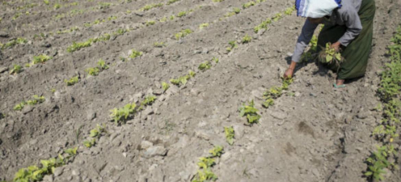 Nova iniciativa visa melhorar o monitoramento da segurança alimentar pós-catástrofes. Foto: FAO/Hkun Lat