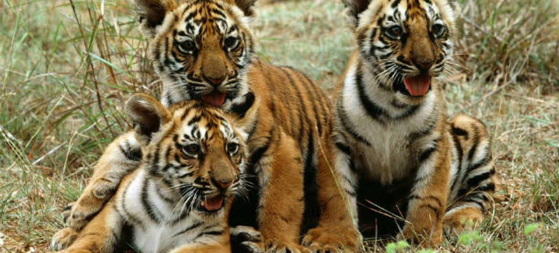Dia Internacional do Tigre. Foto: ONU/John Isaac