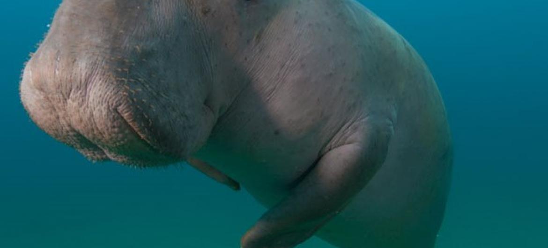 Comunidades protegem dugongos e ajudam a acabar com práticas que prejudicam o meio ambiente marinho. Foto: Pnuma/Fergus Kennedy, 2016.