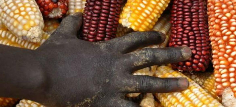 Reservas globais de cereais deverão diminuir em 2018 . Foto: FAO/Raphy Favre