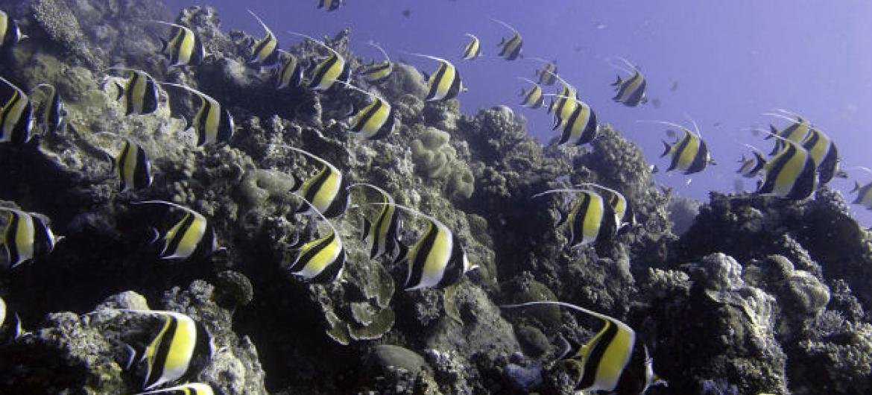 Segundo o Pnuma, os corais são um dos ecossistemas mais importantes do planeta e estão perdendo suas cores devido aos impactos da mudança climática. Foto: Pnuma/Glenn Edney