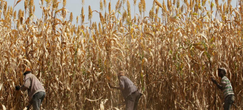 FAO revela que aumento da produção de cereais foi muito acentuado em 2016. Foto: FAO