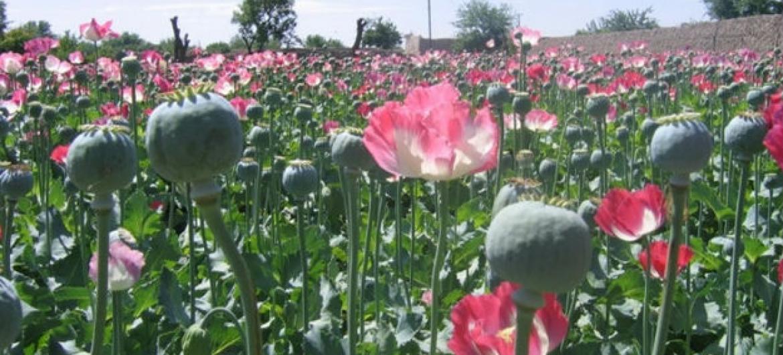 Papoulas no sul do Afeganistão. Foto: Irin/ Abdullah Shaheen