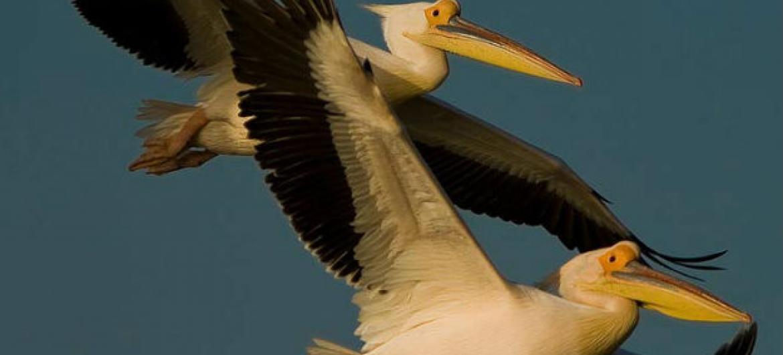 Pelicano branco. Foto: Unep/AEWA/Sergey Dereliev