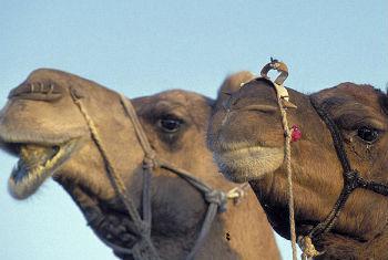 OMS recomenda evitar contato com camelos. Foto: Banco Mundial/Curt Carnemark