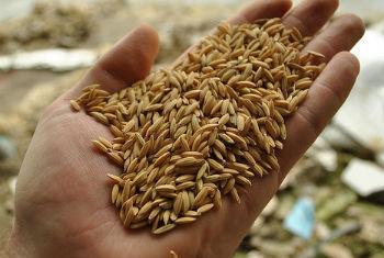 Produção de arroz. Foto: FAO/J.Belgrave