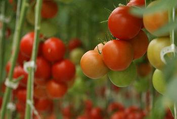O tomate registou uma alta de 179 porcento. Foto: Banco Mundial/D. McCourtie