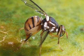 Existem quatro variantes da mosca da fruta. Foto: FAO