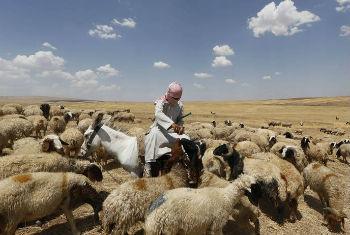 Muitos produtores venderam seu gado na totalidade. Foto: FAO