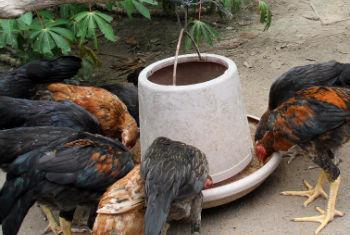 Produção de aves ameaçada. Foto: Banco Mundial/Chhor Sokunthea