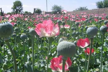 Plantação de papoula no sul do Afeganistão. Foto: Irin/Abdullah Shaheen