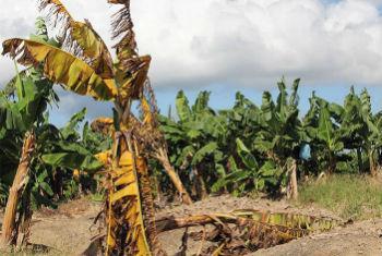 Bananeira afetada pelo fungo Fusarium nas Filipinas. Foto: FAO/Fasil Dusunceli