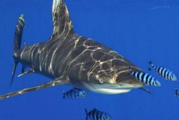 Agência lança software para proteger tubarões em extinção. Foto: Cites