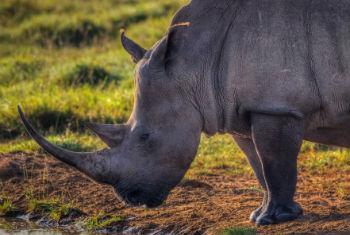 Mais de 1,2 mil rinocerontes caçados em 2014. Foto: Cites