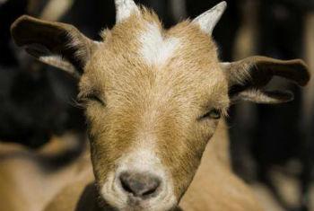 Agênicia quer eliminar a doença que mata carneiros e cabras. Foto: FAO/Giulio Napolitano