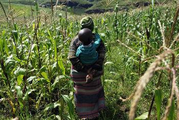 Segundo a FAO, safra de milho da África Austral deve baixar em cerca de 26% este ano.Foto: FAO/Gianluigi Guercia