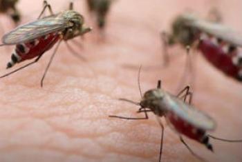 Mosquito transmissor da malária. Foto: ONU
