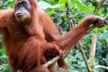 Espécie vive na ilha de Bornéu. Foto: Pnuma