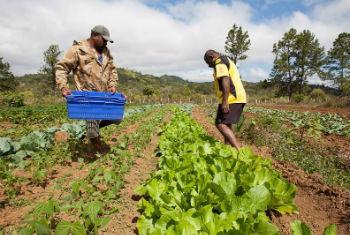 Agricultores a colher alface. Foto: Fida/Ifad Susan Beccio