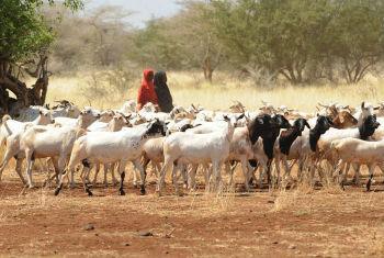 Seca prejudicou o gado. Foto: FAO/Simon Maina