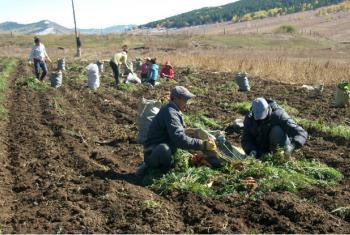 Agricultores na Mongólia colhem cenouras como parte de um programa da FAO de Cooperação Sul-Sul entre a China e a Mongólia. Foto: FAO