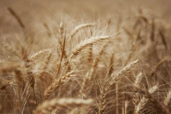 Recorde da produção de milho no Brasil. Foto: FAO/Danfung Dennis