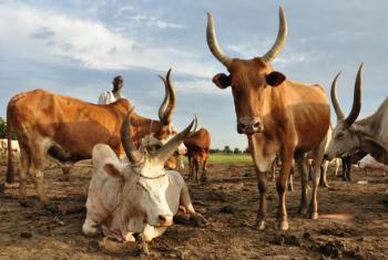 """A carne vermelha foi classificada como """"provável carcinógeno"""" e incluída no grupo 2A.Foto: FAO/Raphy Favre"""