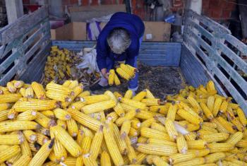 Produção de milho na Sérvia. Foto: FAO