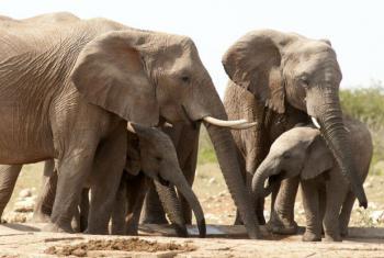 Caça furtiva ameaça ações para recuperar a população de elefantes em Angola. Foto: Pnuma