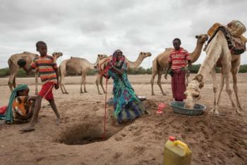 A ONU estima que entre 60% a 80% do gado foram perdidos por famílias que dependem dos animais para cobrir necessidades como renda e alimentação.Foto: PMA