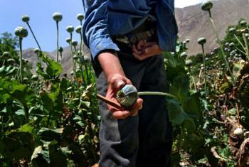 Plantação de papoulas no Afeganistão. Foto: Unodc