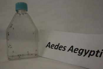 Mosquito Aedes carrega o vírus. Foto: Opas