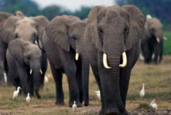 Neste ano, o subtema do Dia Mundial da Vida Selvagem está relacionado à proteção dos elefantes.Foto: Pnuma