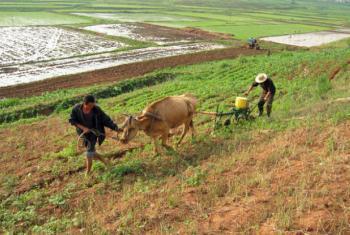 Agricultura na Coreia do Norte. Foto: FAO