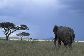 Segundo o diretor da OMT, a agência da ONU tem trabalhado com diversos países africanos na proteção da vida selvagem.Foto: Banco Mundial/Curt Carnemark