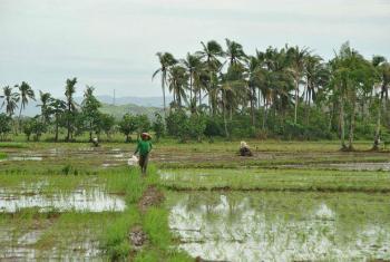 A FAO e o governo da Guiné-Bissau adotam plano para aumentar a produção de arroz no país. Foto: FAO/J.Belgrave